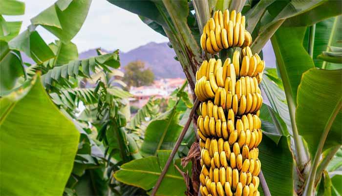 Банан калорийность в 1 штуке без кожуры